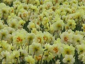 925109283-lisse-narcisse-paques-champ-de-fleurs