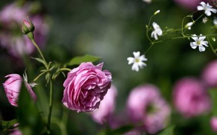pink-roses_3330289b