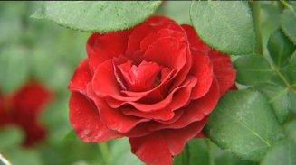 rose2_2