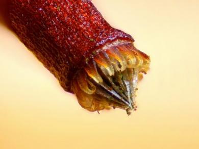 Une spore de Bryum sp., une mousse de la famille des Bryaceae. Les spores permettent aux plantes sans fleurs de se reproduire.