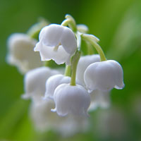 Lily-of-Valley-200