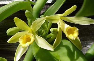 OrchidvanillaPlanifolia