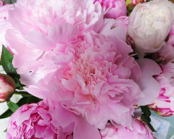 pivoine-fleur