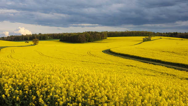 Researchers-find-biocompounds-from-rapeseed-oil-industry-co-stream-as-cosmetic-actives_strict_xxl