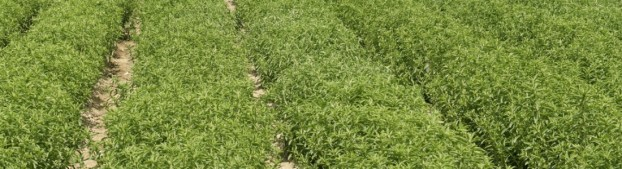 stevia-granada-301n7so3k9t7f418lcgohs