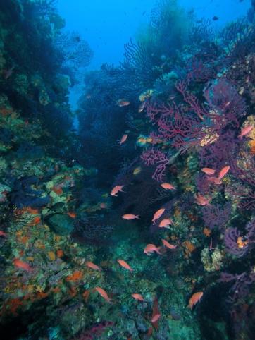 Coraligen