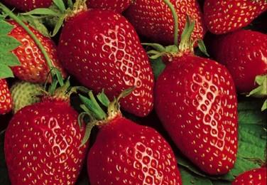 fraise-gariguette