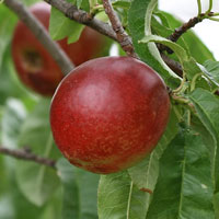 Nectarine-red-200